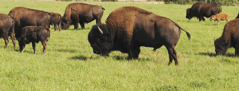 Bison flock_WEB