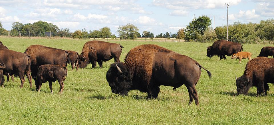 Bison flock_WEB